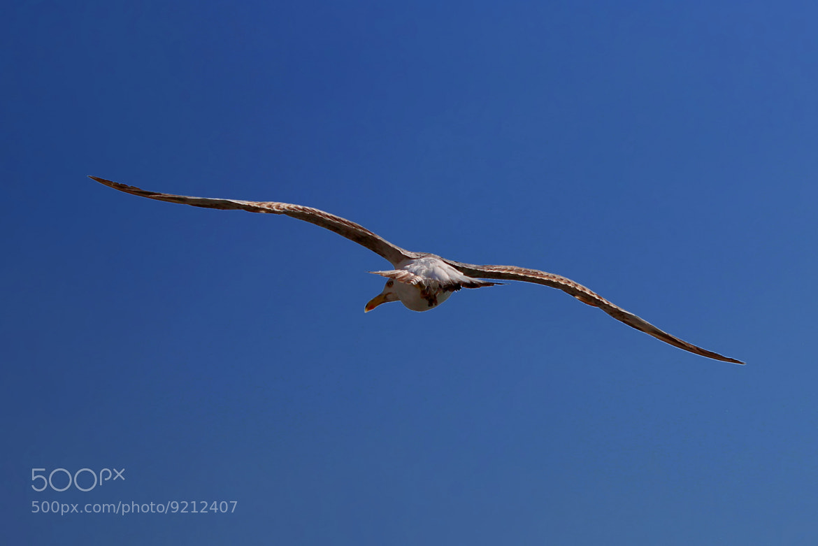 Photograph Seagull by Alper Hayreter on 500px