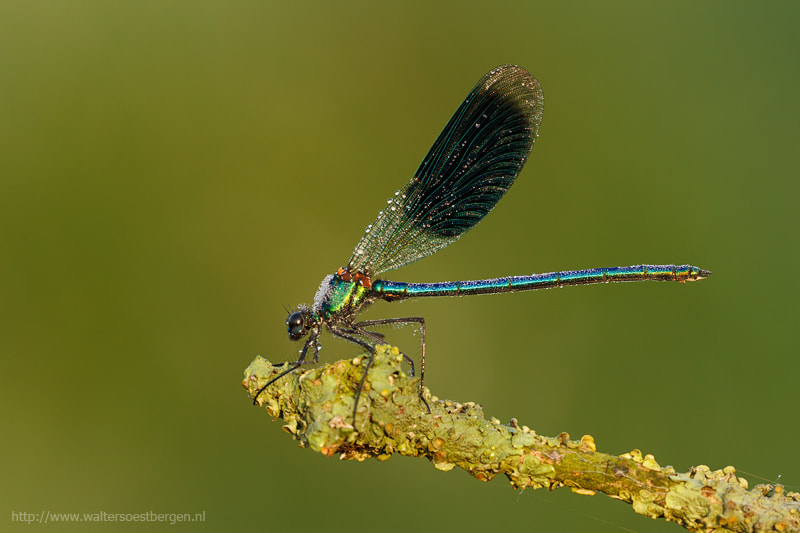 Photograph Banded Demoiselle by Walter Soestbergen on 500px