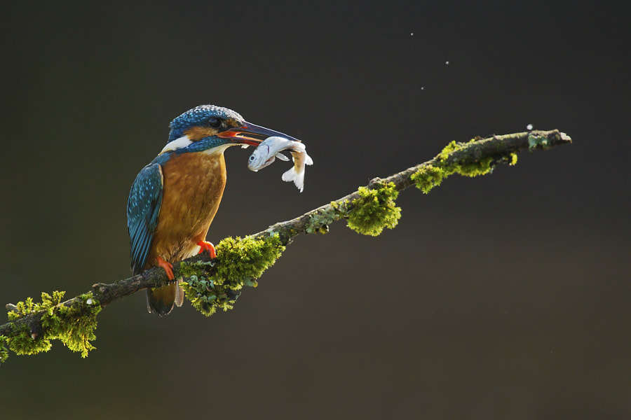 Kingfisher at work by Sylwia Domaradzka on 500px.com