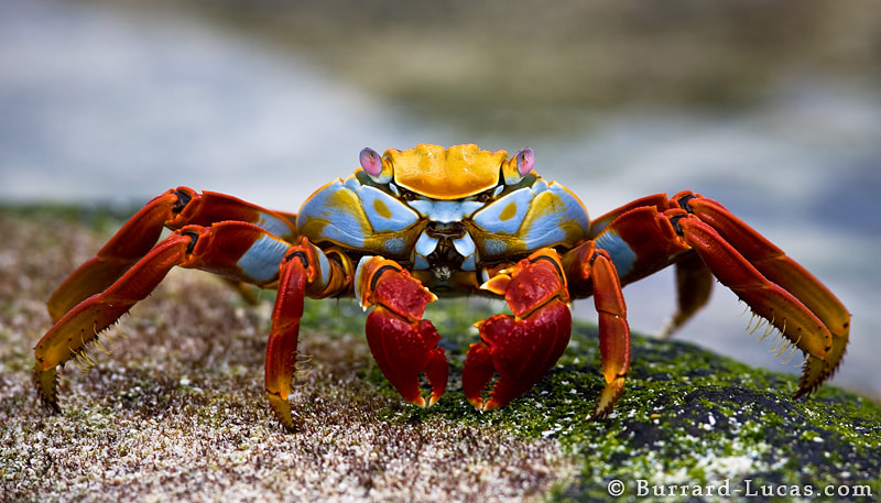Photograph Sally Lightfoot Crab by Will Burrard-Lucas on 500px