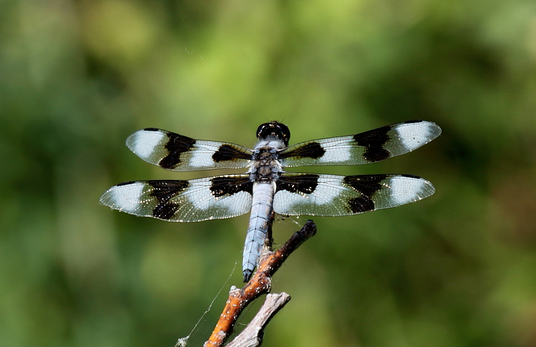 Photograph Twelve-Spotted Skimmer(Libellula pulchella)  by Geri Coe on 500px
