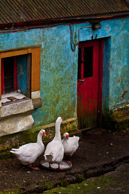 Photograph The Three Geese by conor ledwith on 500px