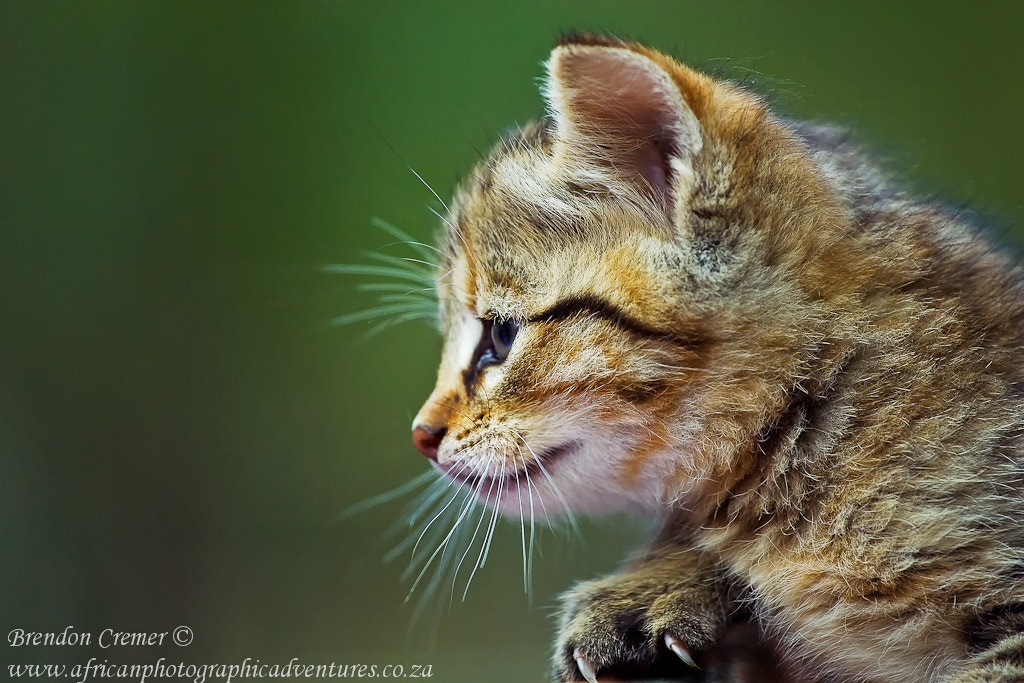 Photograph African Wild Cat by Brendon Cremer on 500px