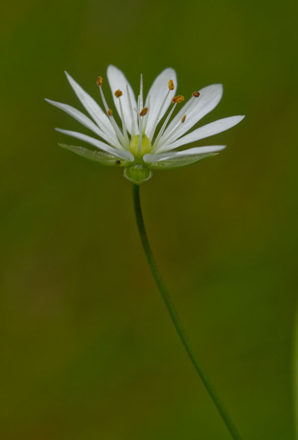 Photograph Stitchwort by Squirrelnutkins on 500px