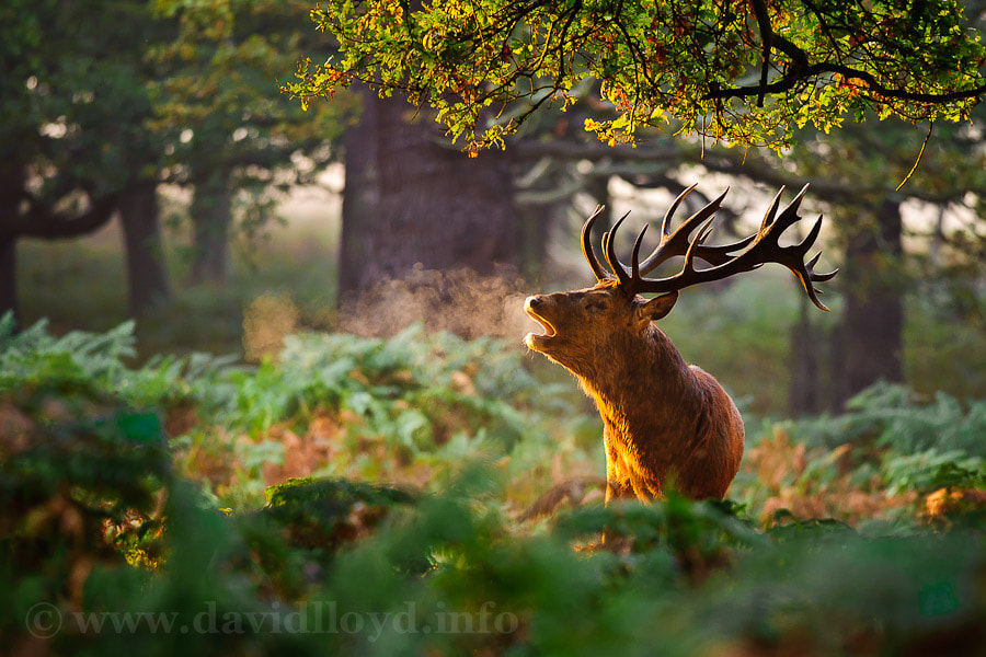 Photograph Red Deer Stag by David Lloyd on 500px