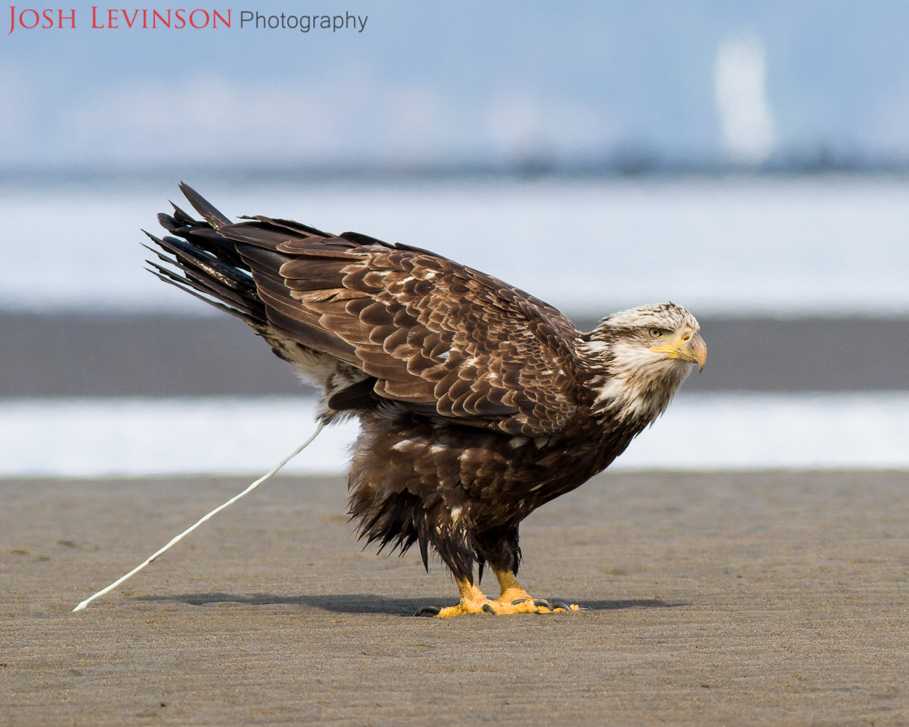 Photograph Poopie eagle by Josh Levinson on 500px