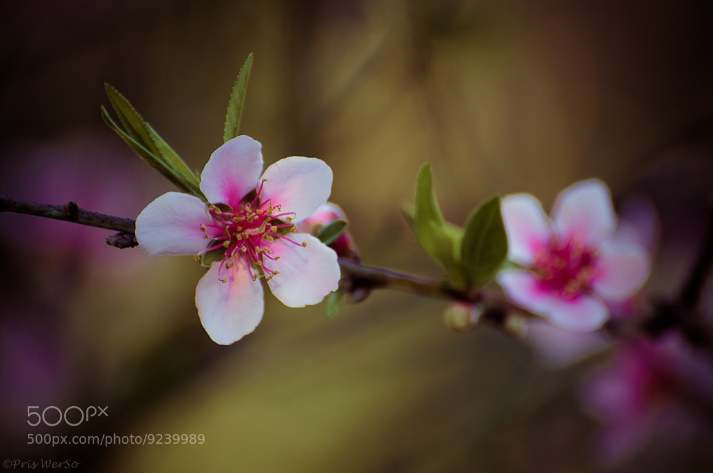 Photograph Pessegueiro (peach tree) by Priscila Werneck on 500px