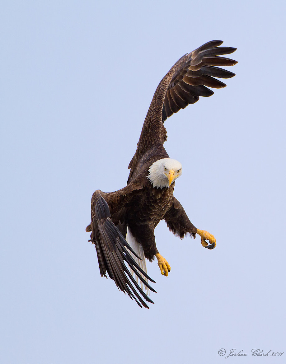 Photograph Banking Bald Eagle by Joshua Clark on 500px