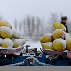 Постер, плакат: Bad weather scales pears