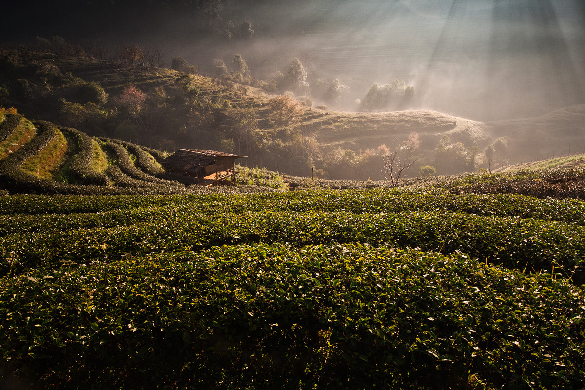 Photograph Tea Plant in Chiang Mai by Ekkachai Pholrojpanya on 500px