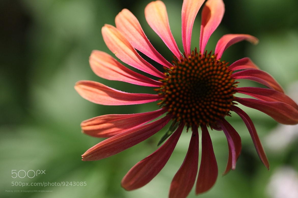 Photograph cone flower by Kim DongYoung on 500px