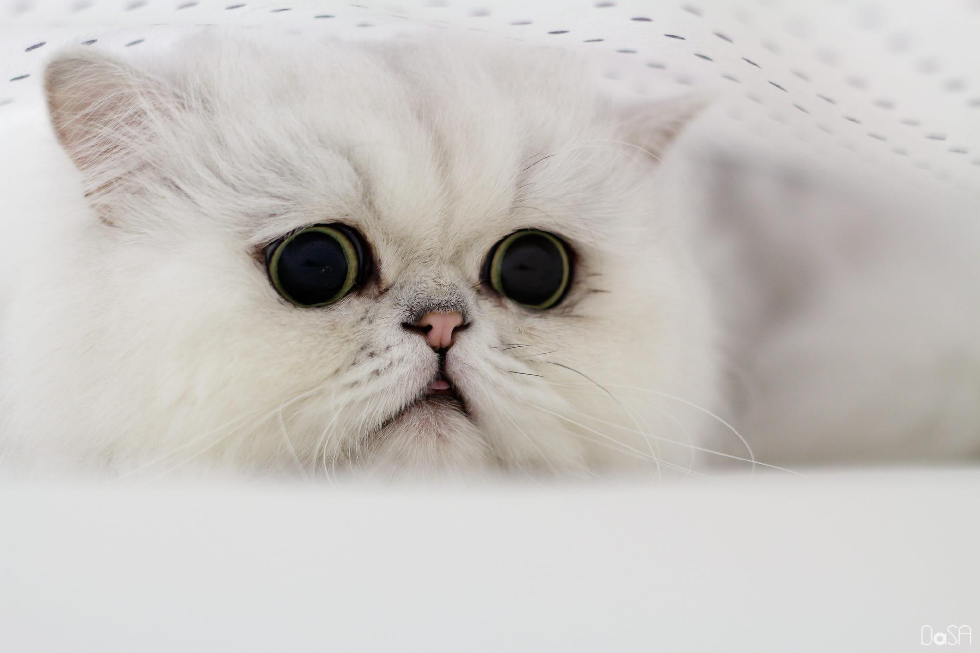 Great white cat \'s curiosity