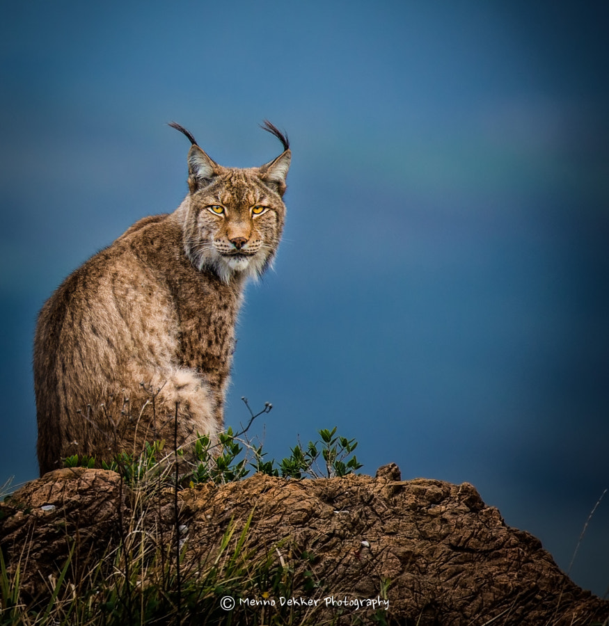 Photograph Lynx in the blue hour by Menno Dekker on 500px