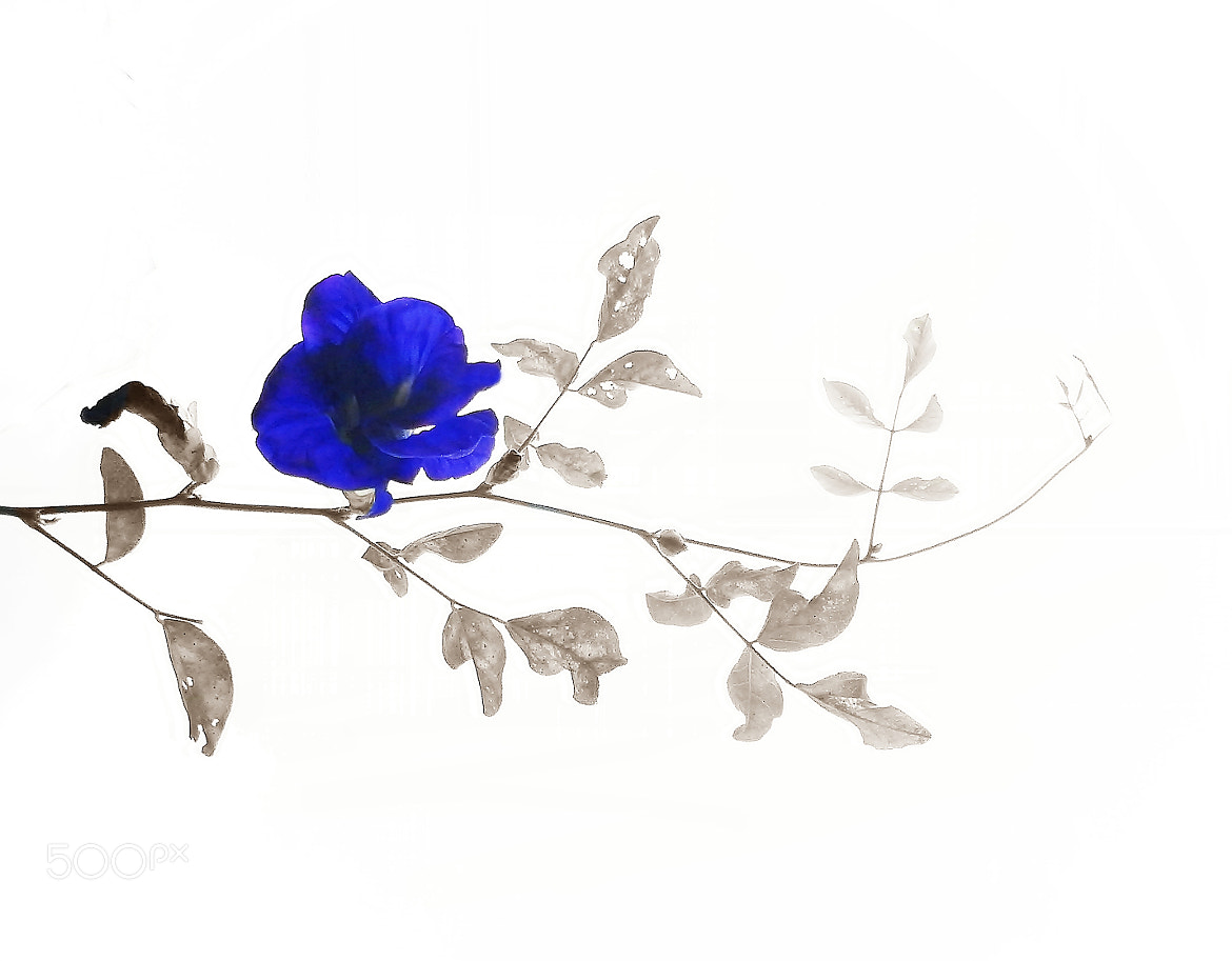 Photograph blue flower by Nguyen Dinh Thuc on 500px