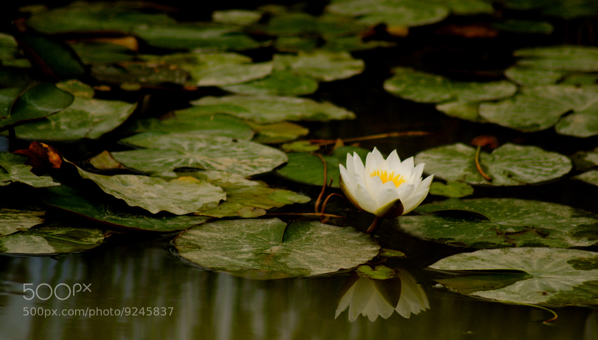 Photograph Lily - on reflection by julian john on 500px