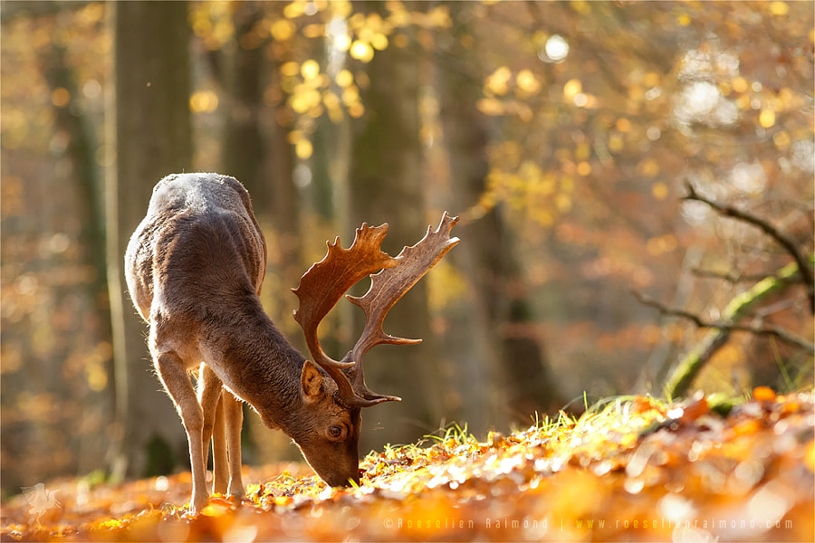 Photograph Fallow Deer in Autumn Mood by Roeselien Raimond on 500px