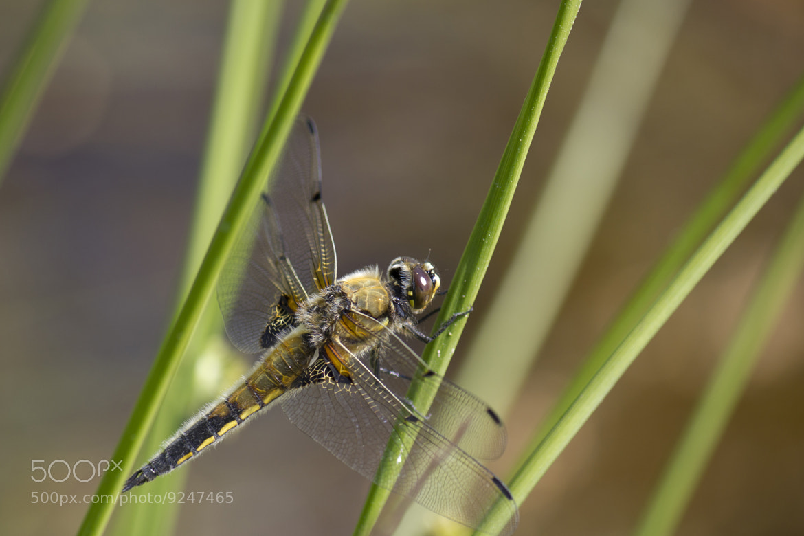 Photograph Dragonfly by Essi Knaapi on 500px