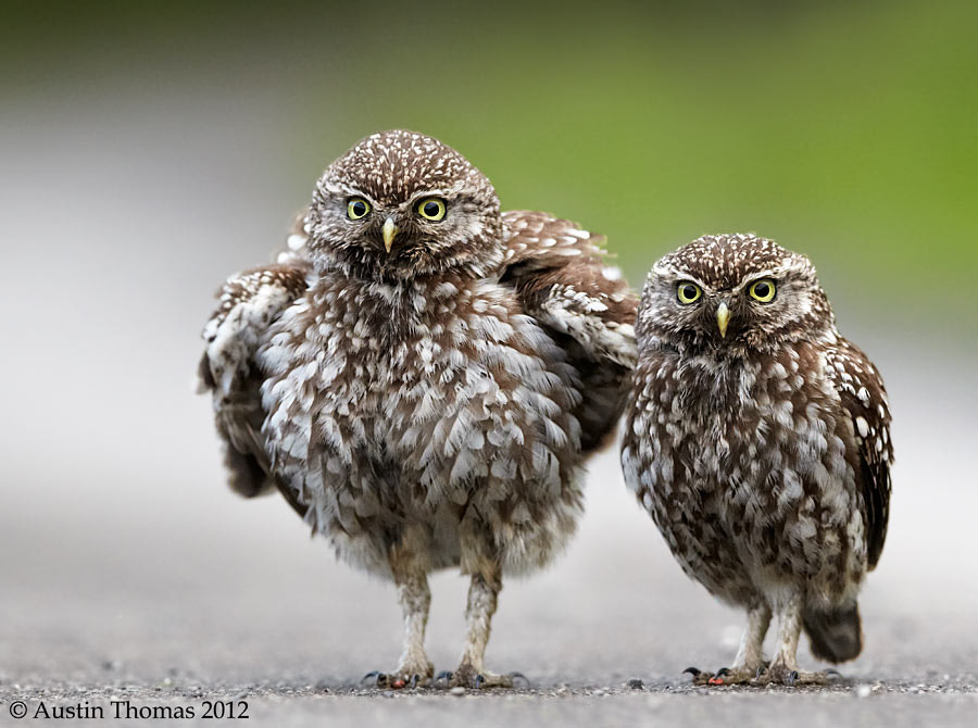Photograph Large Owl, Little Owl by Austin Thomas on 500px