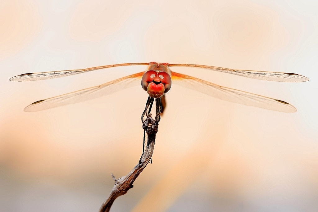 Photograph dragonfly I by wise photographie on 500px