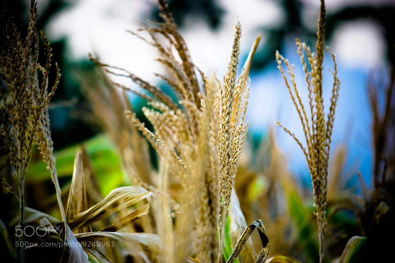 Photograph Chola kadu (Corn's) by Govindaraja Jeyaraman on 500px
