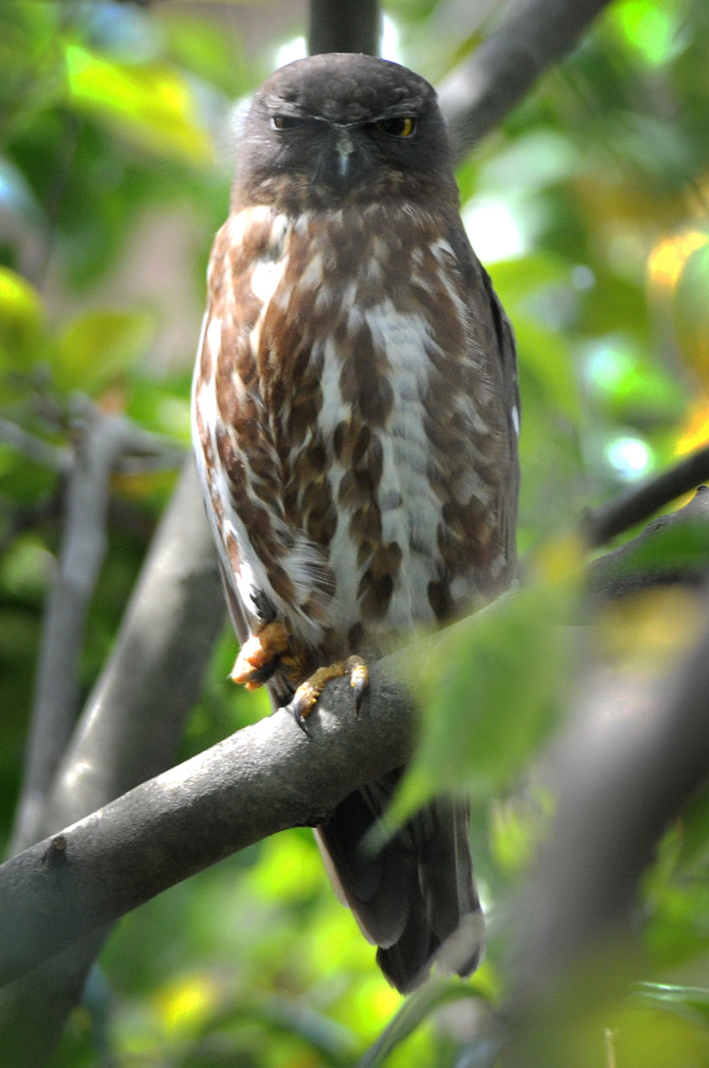 Photograph Brown-hawk-owl stare by KEN OHSAWA on 500px