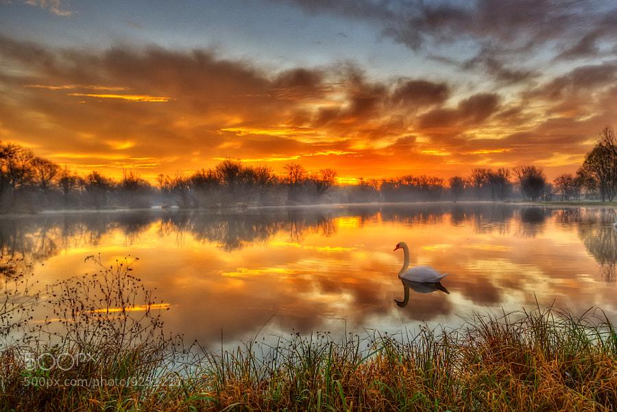 swan swimming in water at dawn