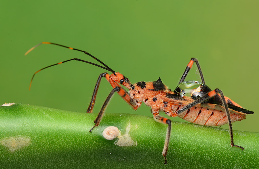 Photograph assasin bug with dew by Simon Shim on 500px