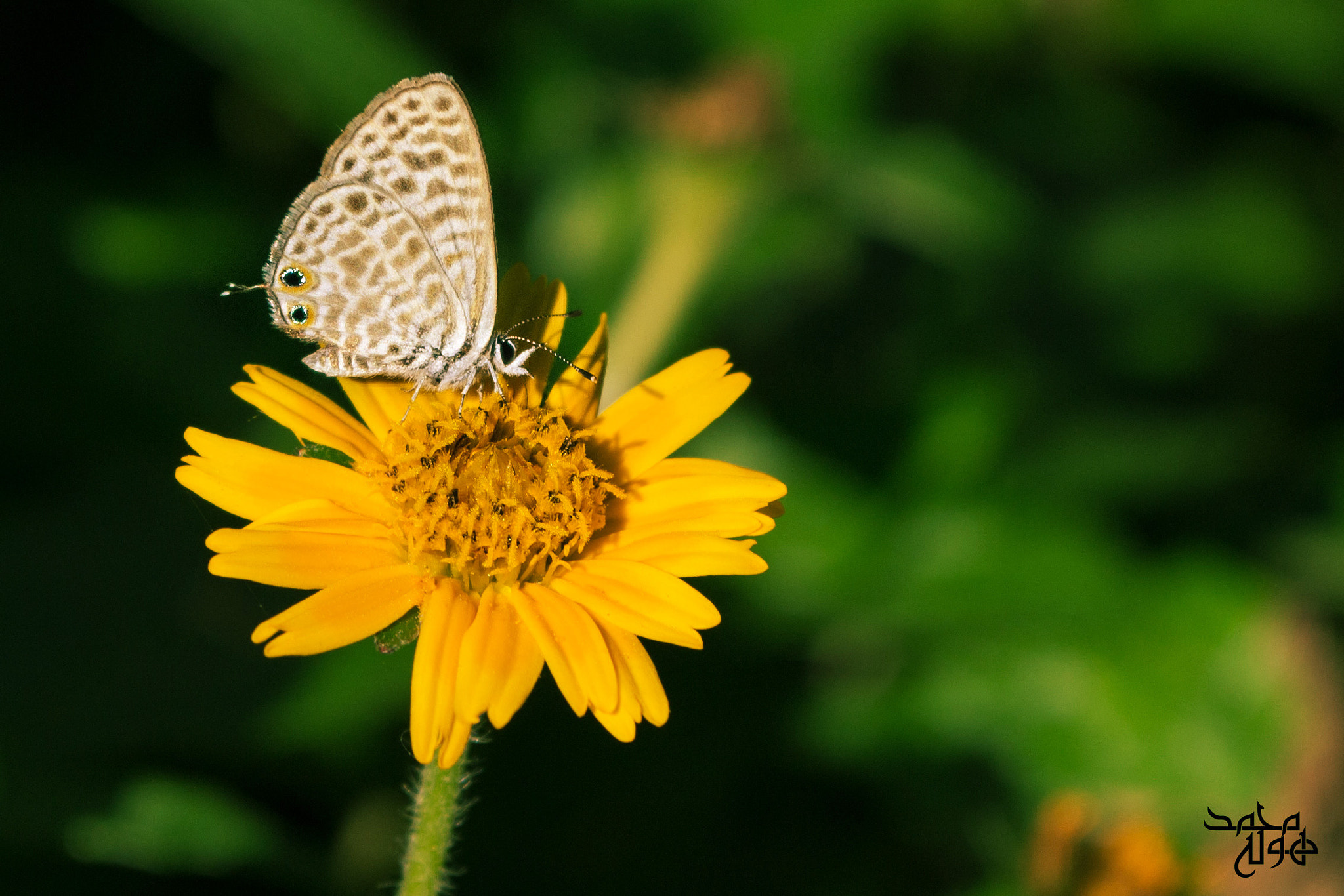 Photograph Leptotes plinius by Mohamed HOla on 500px