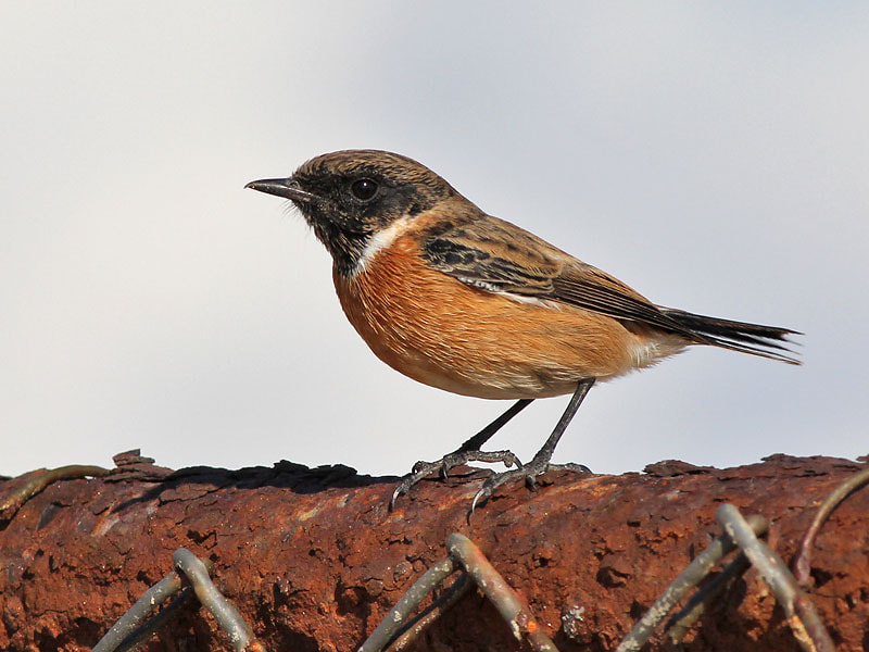 Photograph Stonechat on a rusty fence by Aat Bender on 500px