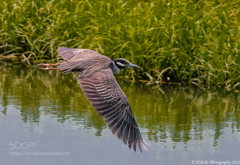 Photograph Heron Flight 101 by Harold Begun on 500px