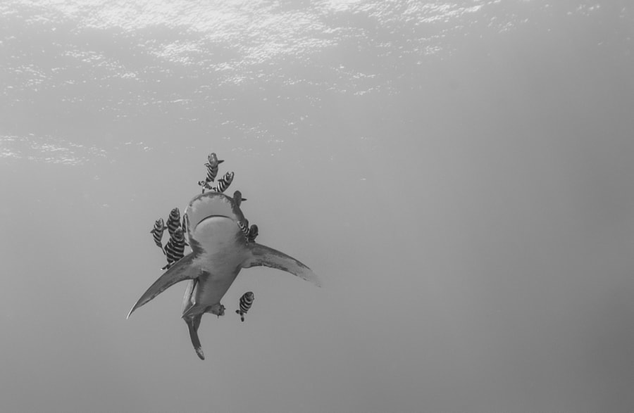 Oceanic Whitetip Shark #3 in Red Sea