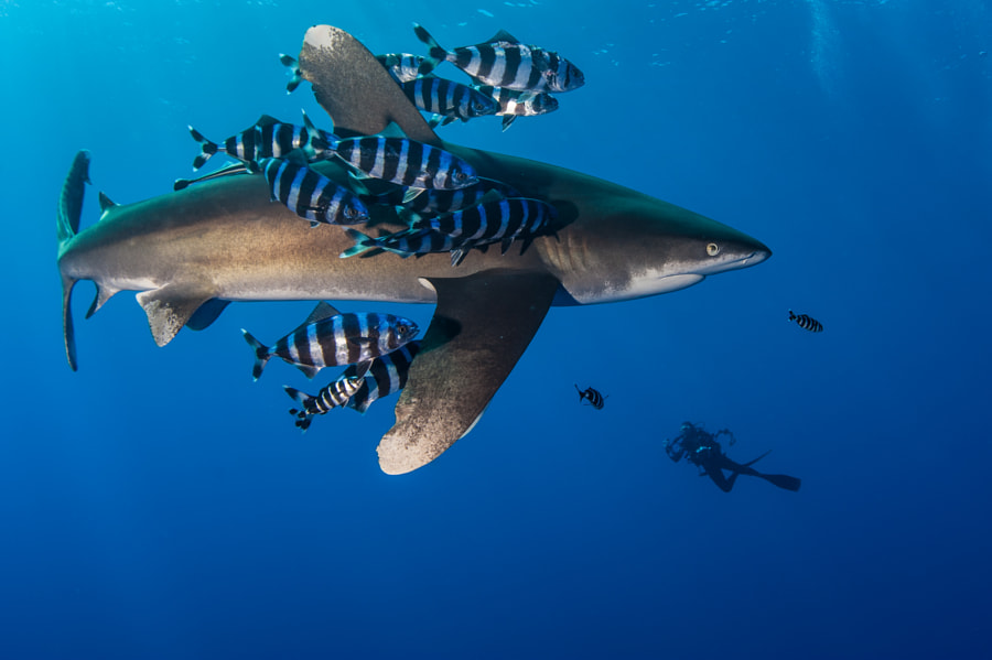 Oceanic Whitetip Shark #2 in Red Sea