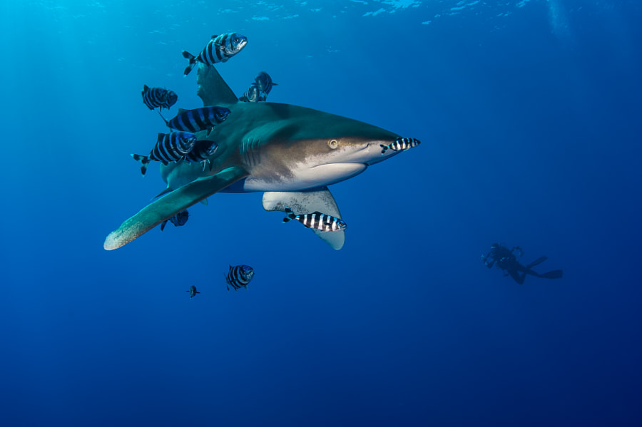 Oceanic Whitetip Shark #6 in Red Sea