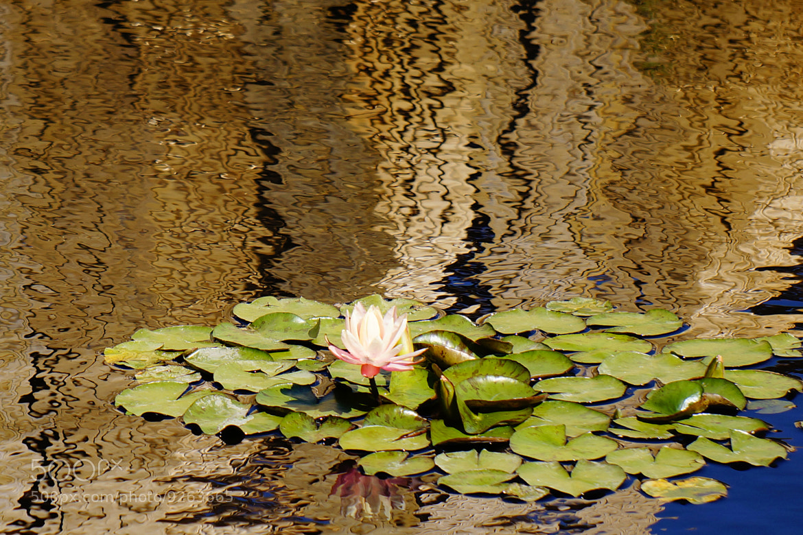 Photograph Gilding the Lily by Guy Biechele on 500px