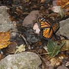 Butterfly on Rock