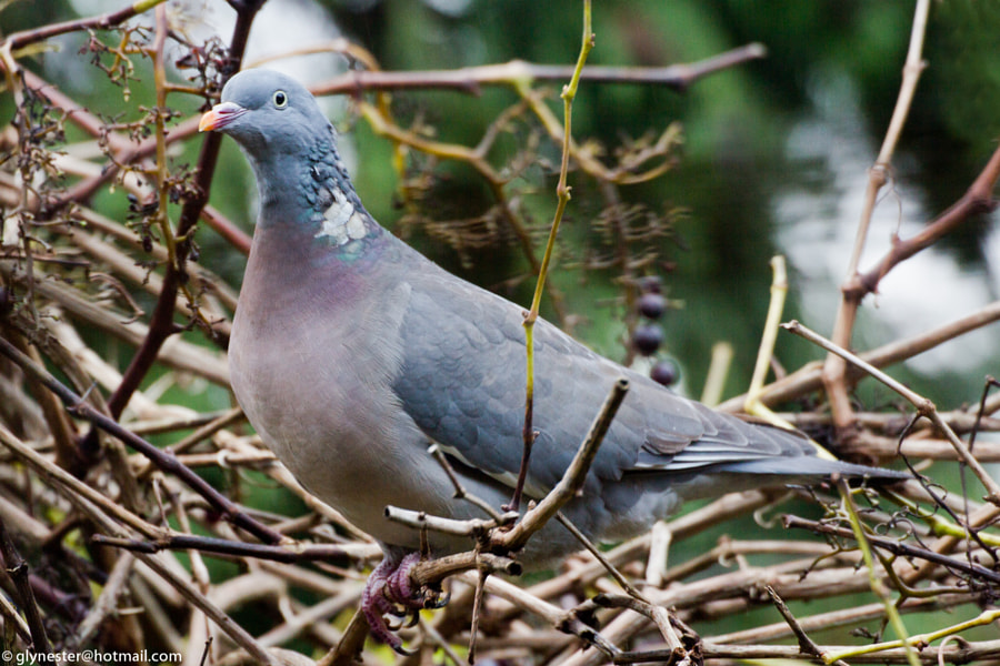Wood pigeon taking a break from collecting the last grapes on the vine.