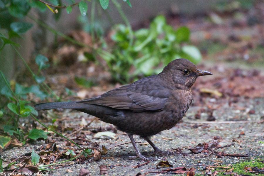 Blackbird posing on a concrete garden path.