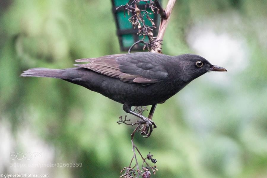 A blackbird posing next to a garden lantern.