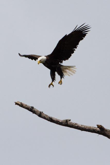 Photograph Eagle Landing by Chris McDonald on 500px