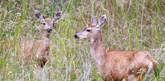 Photograph Pender island Deer by Chris McDonald on 500px
