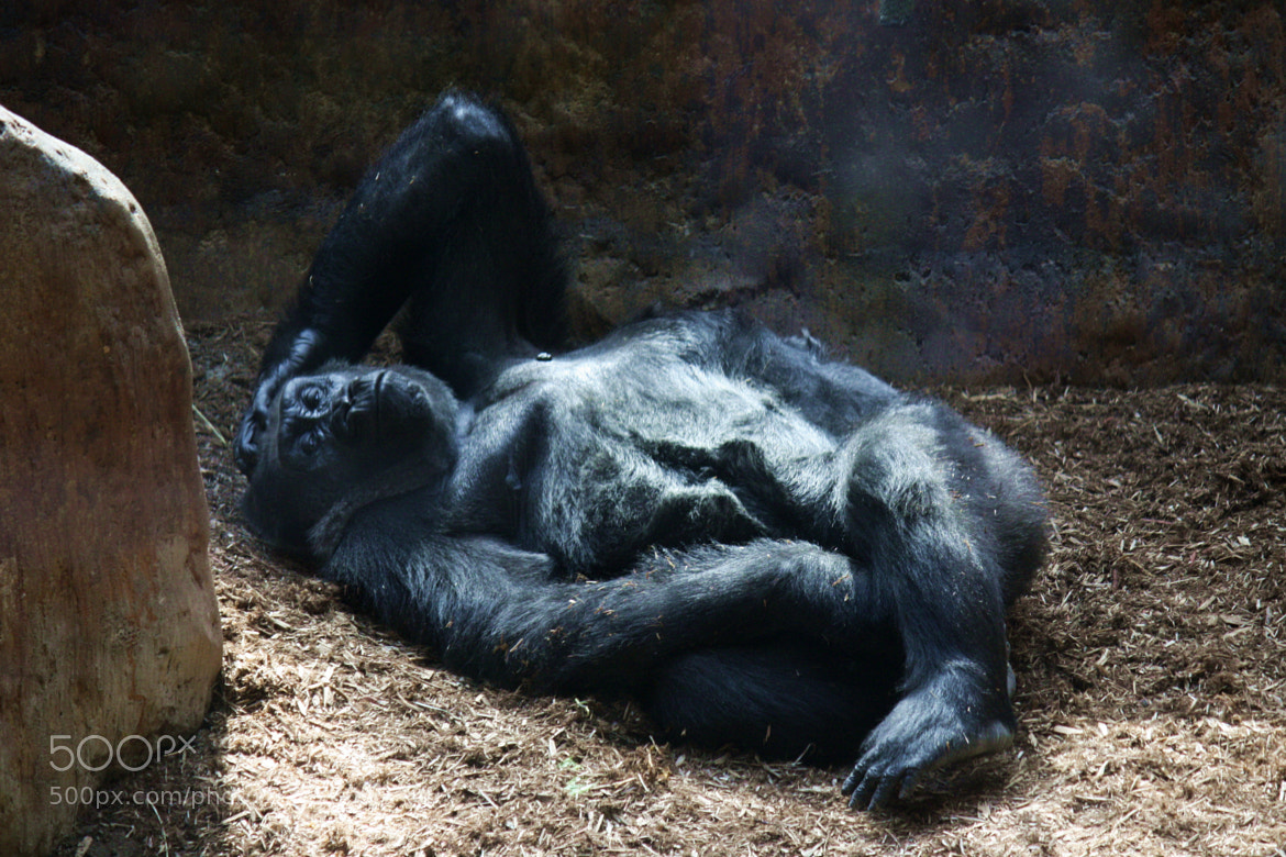 Photograph Lounging Gorilla by Susan Drysdale on 500px