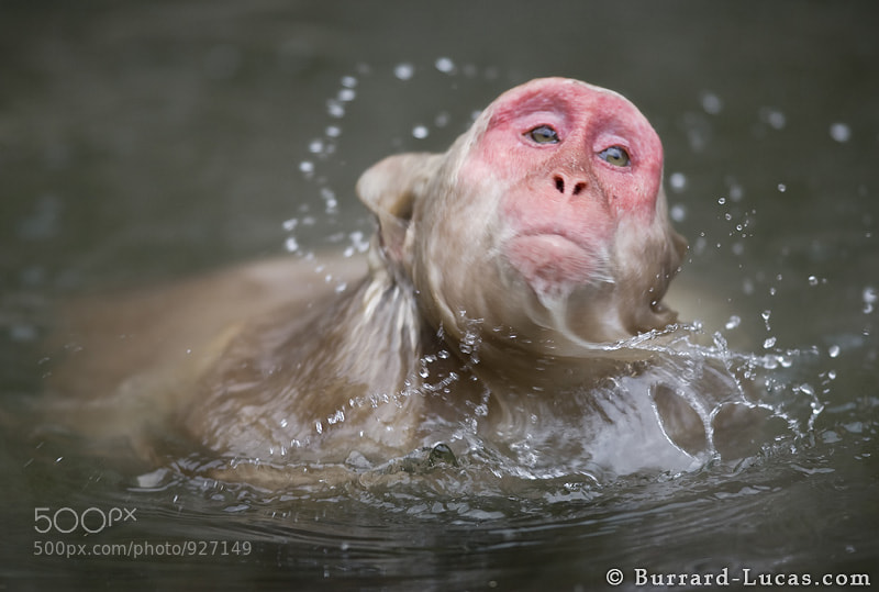 A Japanese macaque swims in a geothermal hot spring in the mountains of Japan. Throughout the day these monkeys can be seen playing, grooming, and relaxing in the steaming waters in Nagano Prefecture, Japan.