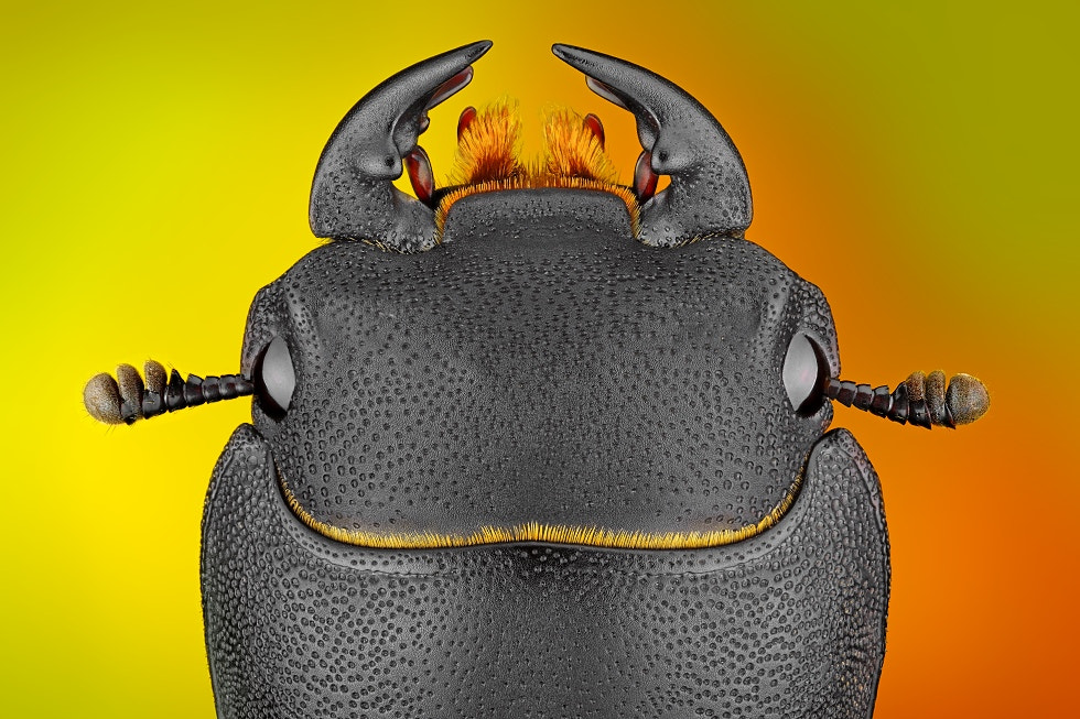 Photograph Dorcus parallelipipedus by Tomas Rak on 500px