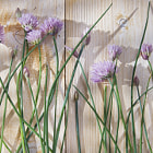 Постер, плакат: Chives in bloom