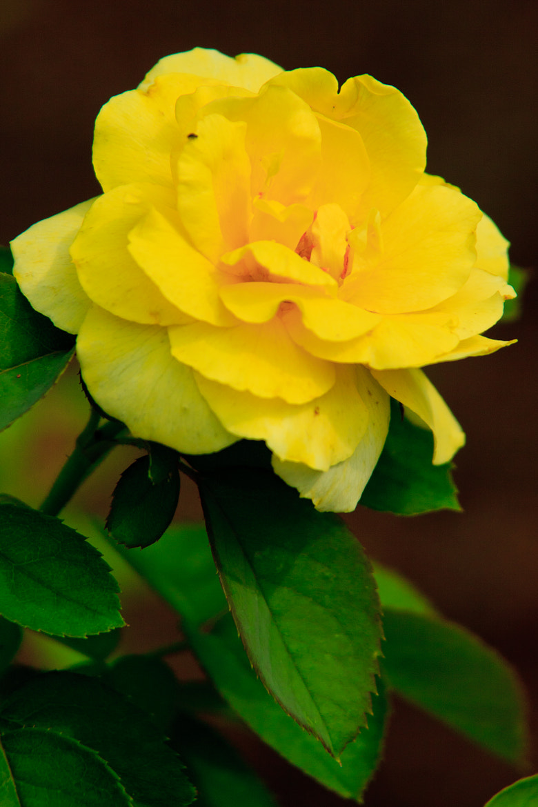 Photograph Yellow Rose by Bob Fisher on 500px