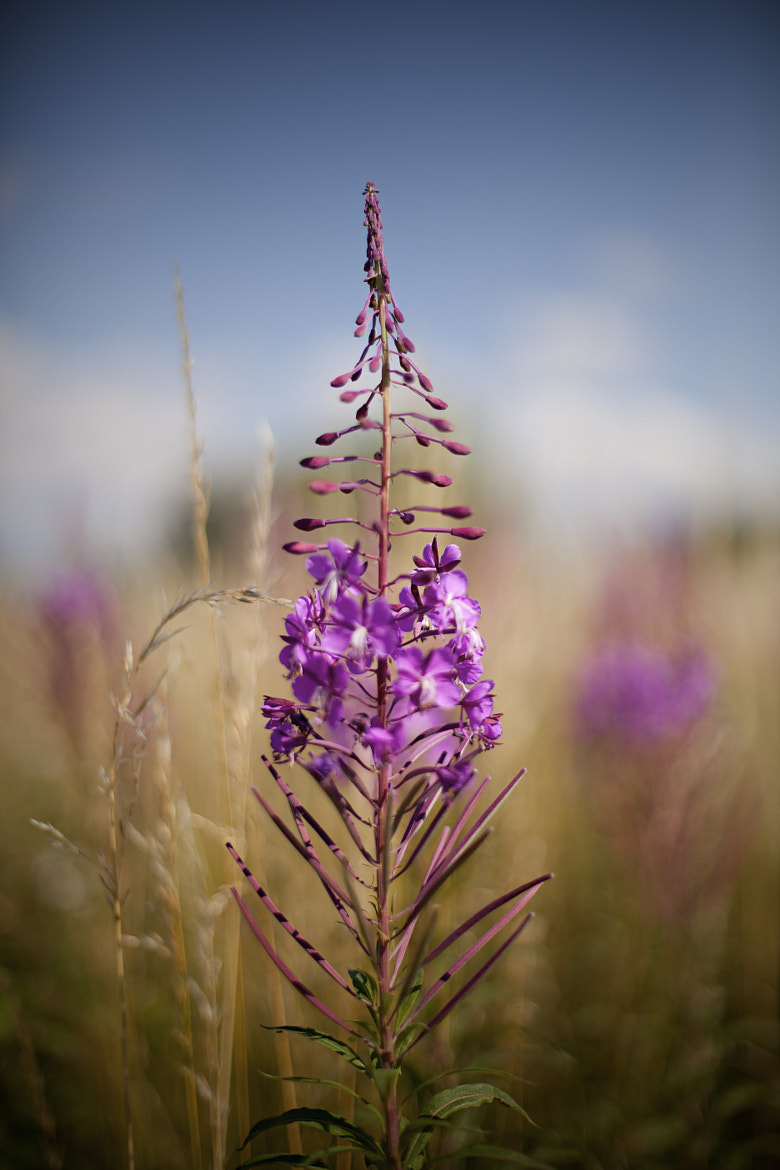 Photograph Purple Loosestrife  by Rob Harris on 500px