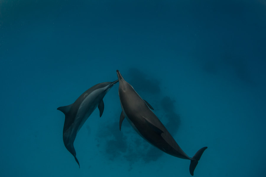 Dolphines #1 in Red Sea
