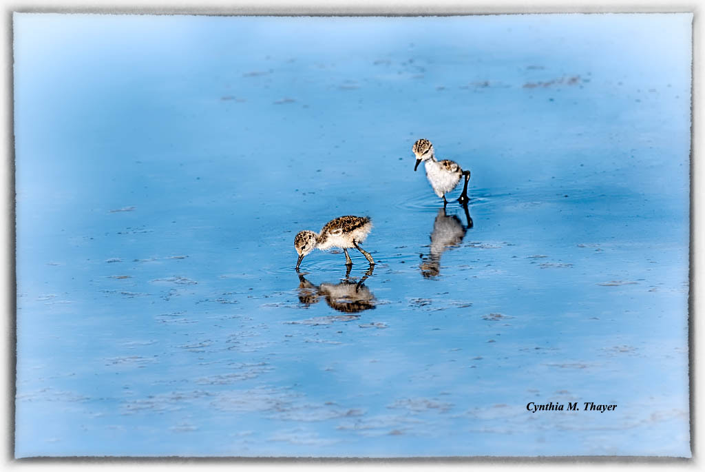 Photograph Two young black necked stilts by Cynthia Mathre Thayer on 500px