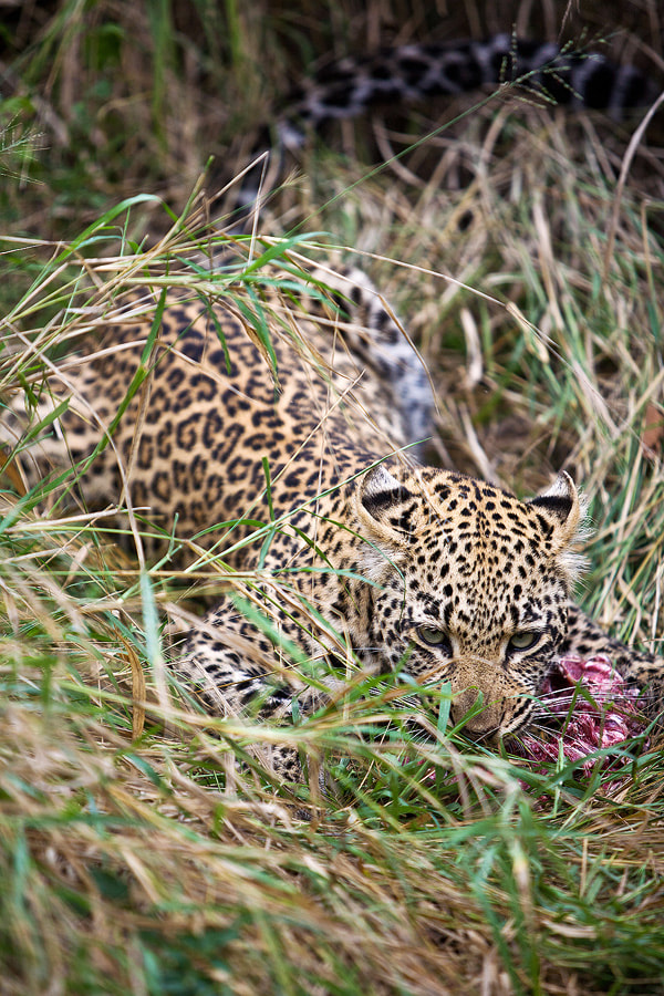 Photograph Rhulani and her kill by Jochen Van de Perre on 500px