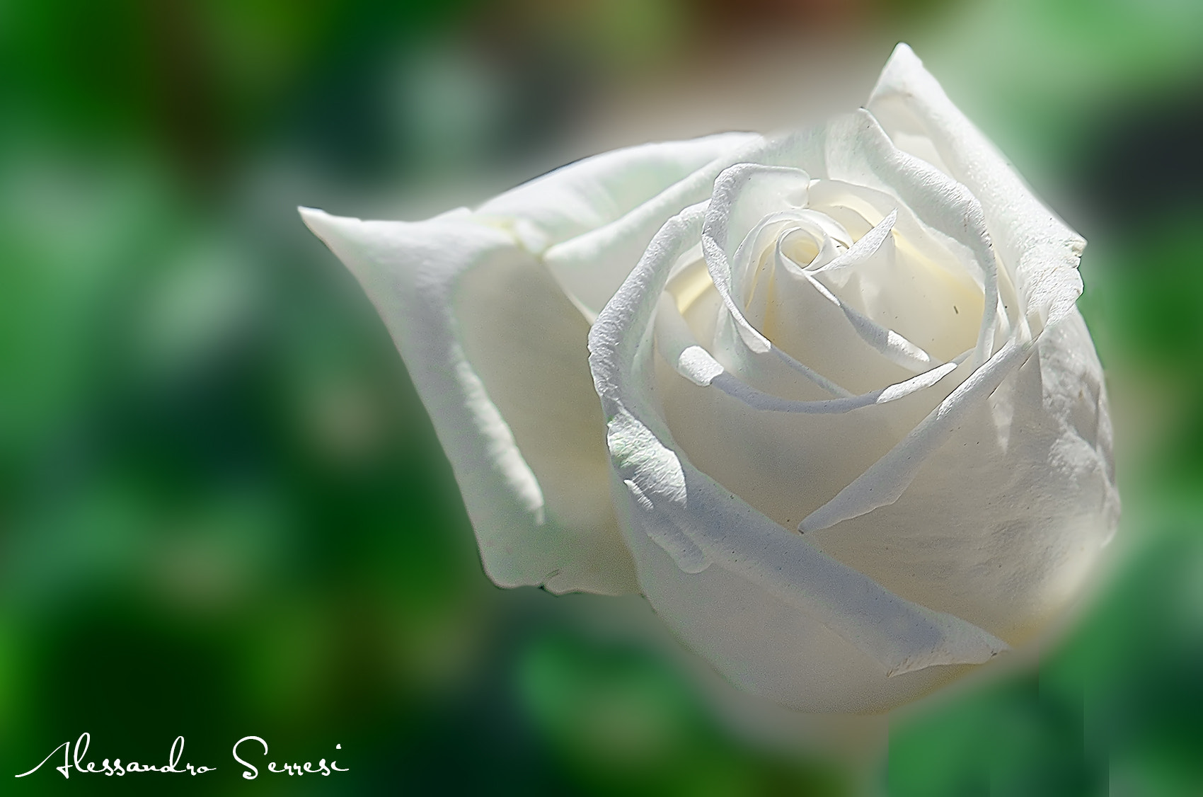 Photograph Rose by Alessandro Serresi on 500px